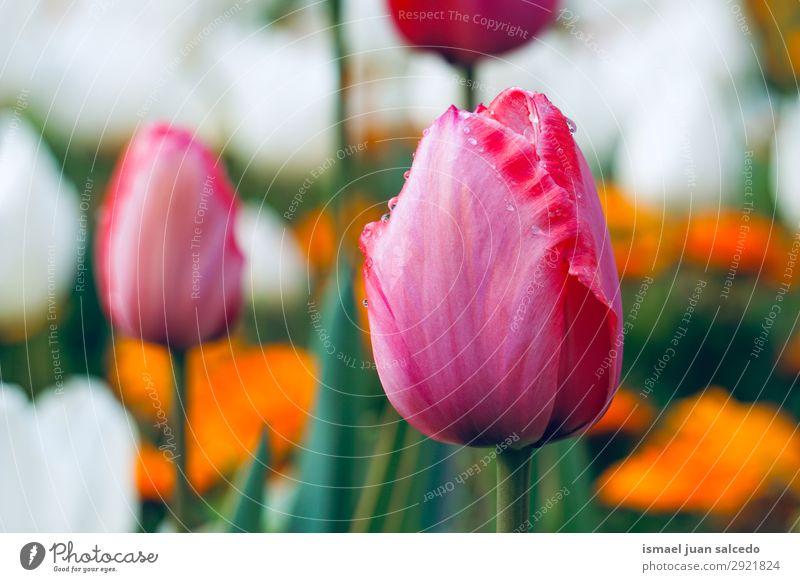 rote Tulpe im Garten im Frühjahr in der Natur Blume Blütenblatt Pflanze geblümt Dekoration & Verzierung Romantik Beautyfotografie zerbrechlich frisch