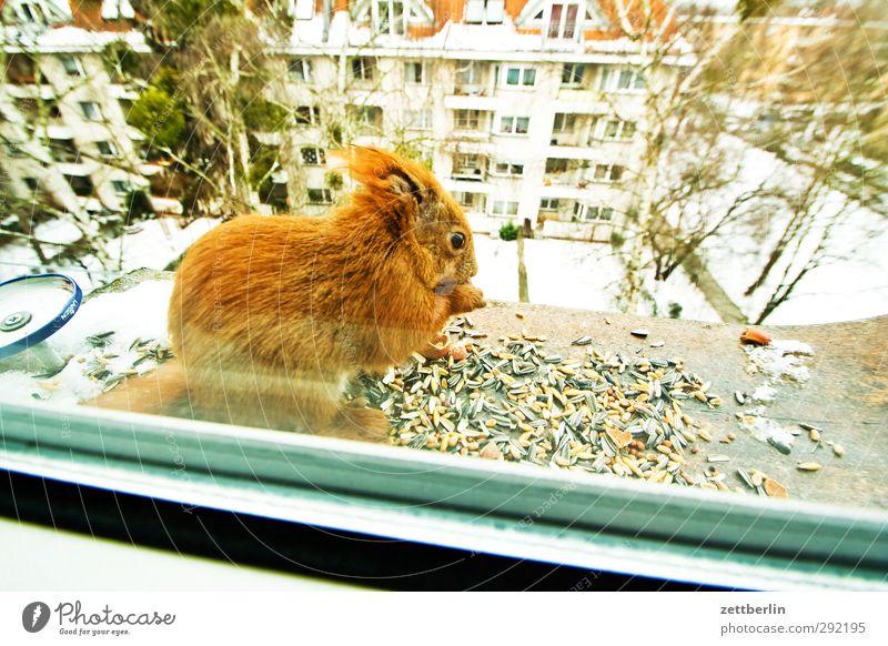 Sciurus vulgaris Stadt Stadtrand Haus Fenster Tier Wildtier 1 Essen füttern kuschlig Neugier niedlich Zufriedenheit Gastfreundschaft Solidarität