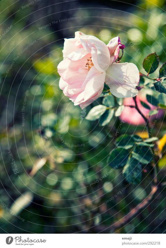es duftet nacht Frühling Natur grün Pflanze Blume Umwelt natürlich rosa Schönes Wetter Rose Duft