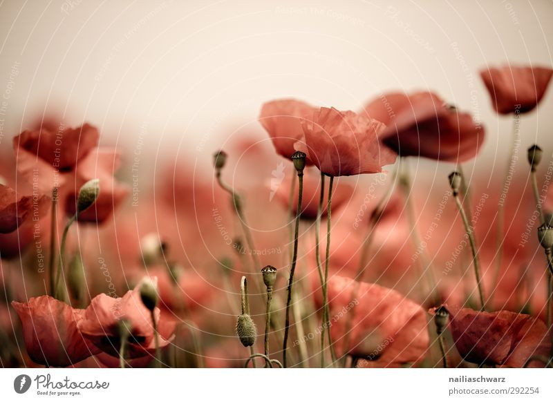 Mohntraum Natur schön Pflanze rot Blume Landschaft Umwelt Wiese Wärme Blüte Garten braun träumen Feld glänzend wild