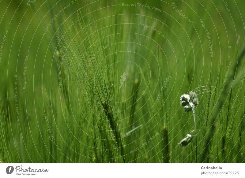 Gerste grün Ähren Feld Getreide