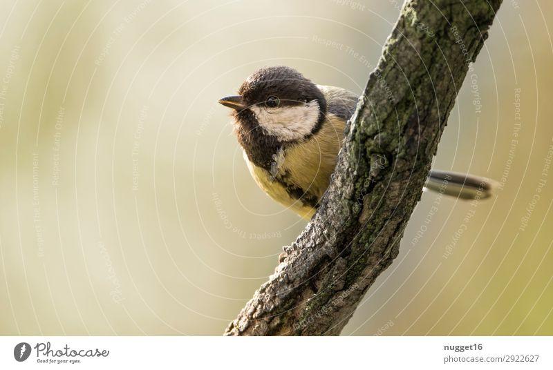 Kohlmeise Umwelt Natur Tier Frühling Sommer Herbst Klima Schönes Wetter Baum Ast Garten Park Feld Wald Wildtier Vogel Tiergesicht Flügel 1 ästhetisch