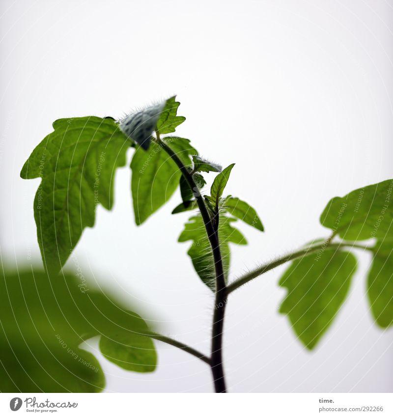 Tomatenvorziehn nich vergessen Frühling Pflanze Blatt Grünpflanze Nutzpflanze Tomatenplantage Wachstum grün Energie Zufriedenheit Leben Natur planen