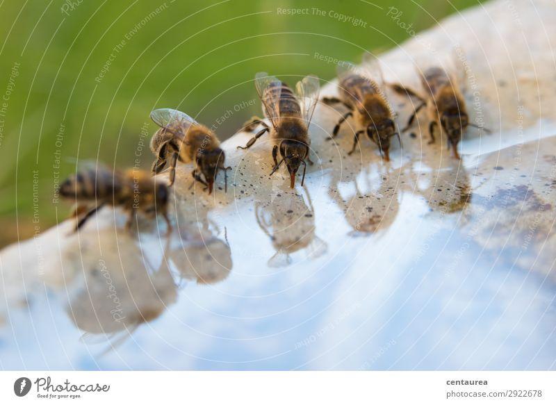 durstige Bienen Umwelt Natur Tier Wasser Garten Wildtier Tiergruppe trinken lecker Zufriedenheit Gastfreundschaft fleißig Netzwerk Zusammenhalt Farbfoto