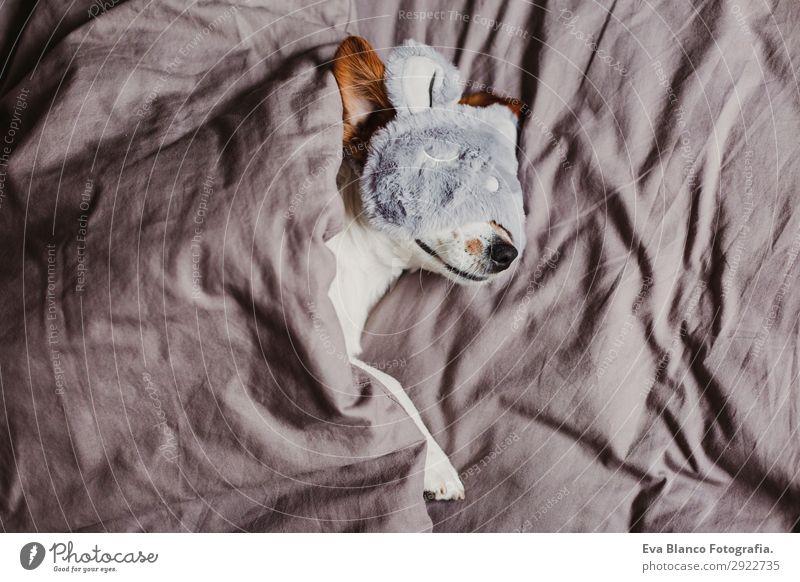 süßer kleiner Hund auf dem Bett liegend und mit Schlafmaske Lifestyle Erholung Sommer Wohnung Haus Schlafzimmer Tier Herbst Haustier Maus 1 schlafen Coolness