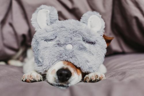 süßer kleiner Hund auf dem Bett liegend und mit Schlafmaske Lifestyle Erholung Sommer Wohnung Haus Raum Schlafzimmer Tier Herbst Haustier Maus 1 schlafen