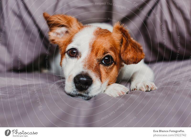 süßer kleiner Hund, der auf dem Bett liegt und sich gelangweilt oder müde fühlt. Glück schön Gesicht Winter Haus Tier Herbst Haustier 1 schlafen warten niedlich