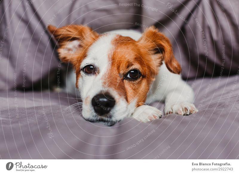 süßer kleiner Hund, der auf dem Bett liegt und sich gelangweilt oder müde fühlt. Glück schön Gesicht Winter Haus Tier Herbst Haustier 1 schlafen sitzen warten