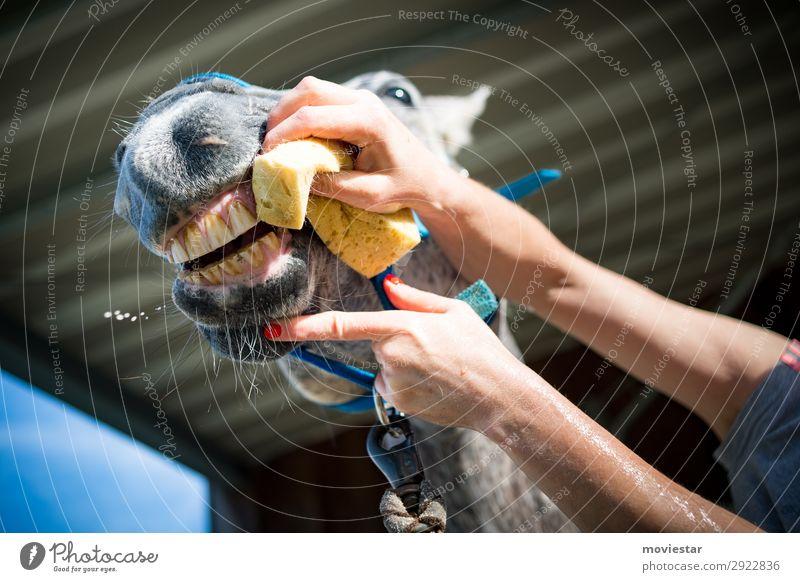 Zahnpflege beim Pferd schön Körperpflege Gesundheit Behandlung Reiten Landwirtschaft Forstwirtschaft Gesundheitswesen Bürste Schwamm Hand Finger 1 Mensch