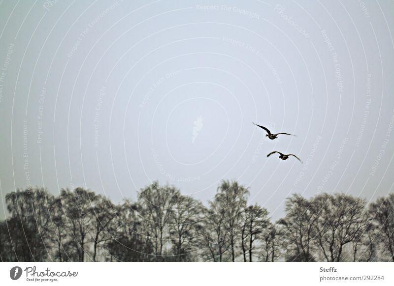 Wildgänse fliegen über den Baumkronen Wildvogel Zugvogel Vögel grau Freiheit frei Flügel Tristesse Sehnsucht melancholisch Sinn poetisch Melancholie malerisch