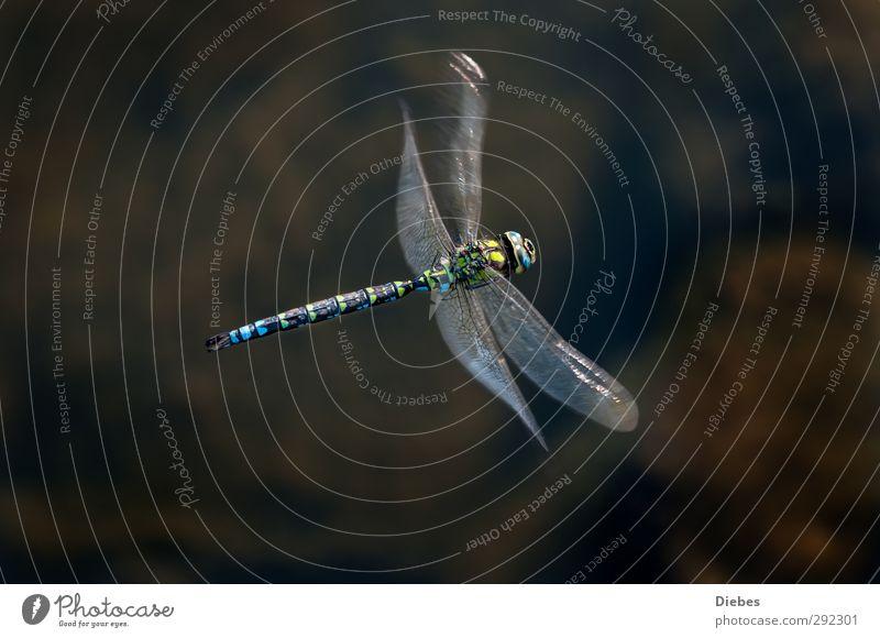 Blaugrüne Mosaikjungfer Wildtier Libelle 1 Tier fliegen elegant fantastisch Geschwindigkeit ästhetisch Bewegung einzigartig Natur Umwelt Farbfoto Außenaufnahme