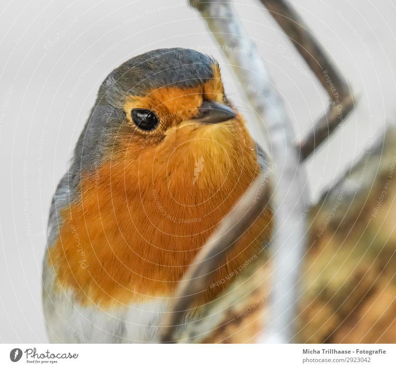 Rotkehlchen Porträt Natur Farbe weiß Baum Tier schwarz gelb Auge natürlich orange Vogel leuchten glänzend Wildtier Feder Schönes Wetter