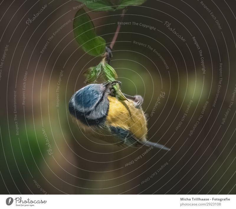 Blaumeise hängt an einem Zweig Natur Tier Sonnenlicht Schönes Wetter Baum Blatt Zweige u. Äste Wildtier Vogel Tiergesicht Flügel Krallen Meisen Schnabel Feder