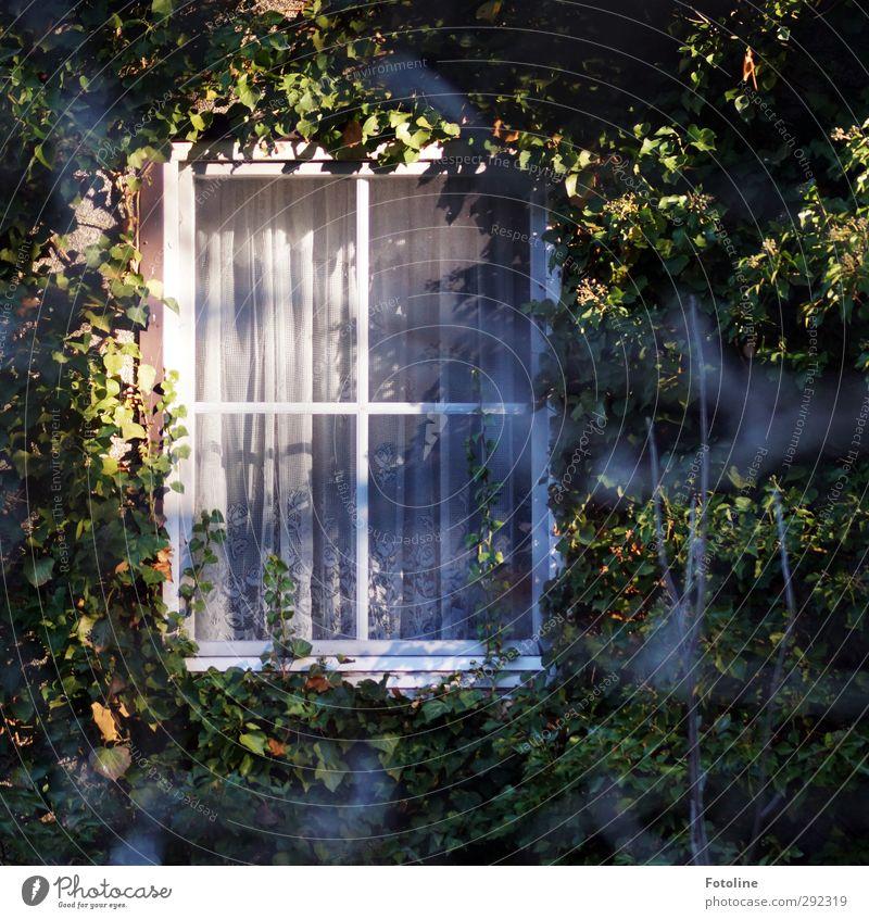 Alte Häuser | Zimmer mit Aussicht... Umwelt Natur Pflanze Schönes Wetter Efeu Blatt Haus Einfamilienhaus Fenster hell natürlich Wilder Wein bewachsen