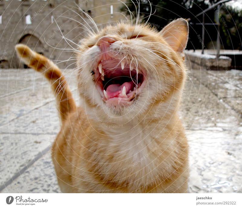 Minilöwe Tier Haustier Katze 1 Tierjunges Jagd schreien Aggression bedrohlich frech niedlich rebellisch Wut gereizt Schutz Konflikt & Streit Straßenkatze