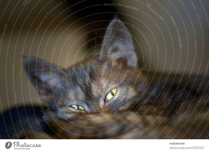 is was? Haustier Katze Tiergesicht 1 Tierjunges beobachten hören liegen Blick schlafen kuschlig Neugier klug braun grau grün schwarz Geborgenheit friedlich