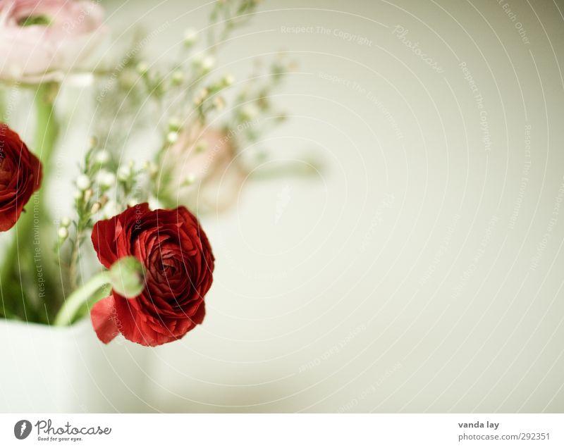 Frühlingsgruß Pflanze rot Blume Blüte Blumenstrauß Vase Ranunkel