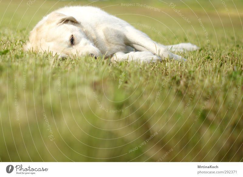 schlaf. Hund Natur weiß Sommer Pflanze Tier Landschaft Umwelt Wiese Herbst Gras Frühling Garten liegen Park Feld