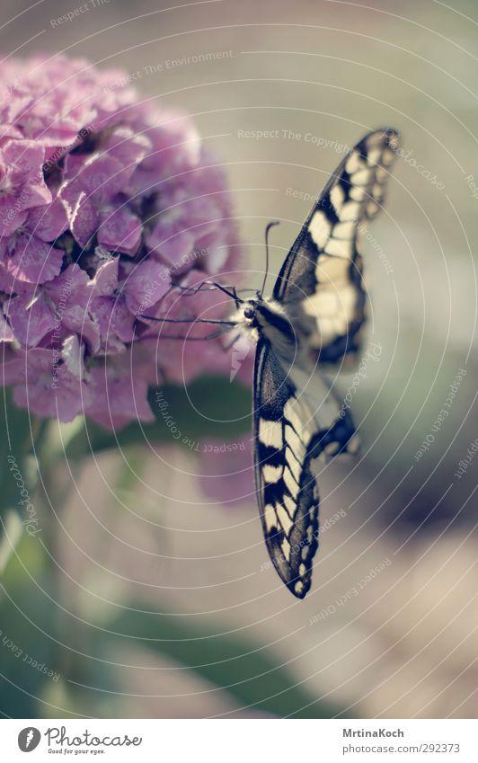 schmetterling. Umwelt Natur Pflanze Tier Frühling Sommer Schönes Wetter Sträucher Blüte Garten Wildtier Schmetterling 1 schön Insekt Schwalbenschwanz gelb