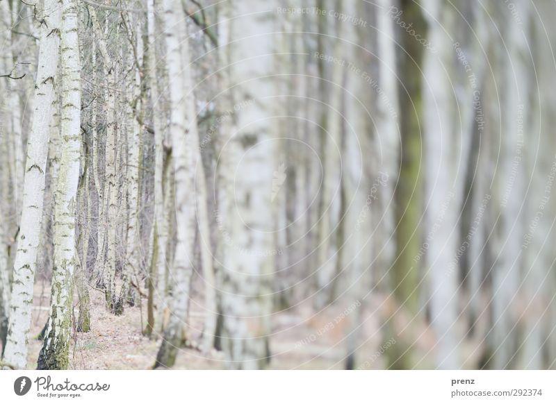 Winterbirkenwald Umwelt Natur Landschaft Baum Wildpflanze Wald grau weiß Birke Birkenwald Tilt-Shift Farbfoto Außenaufnahme Menschenleer Tag Unschärfe