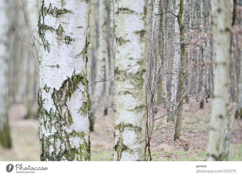 Birken Umwelt Natur Landschaft Pflanze Winter Baum Wald grau weiß Birkenwald Tilt-Shift Baumrinde Farbfoto Außenaufnahme Menschenleer Tag Unschärfe