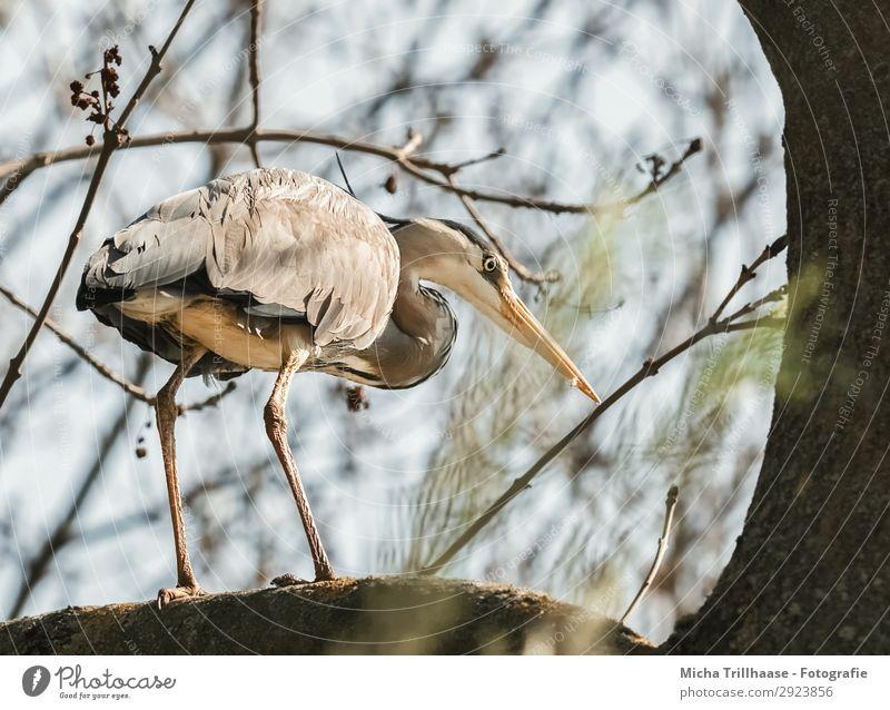 Reiher im Baum Natur Tier Himmel Sonnenlicht Schönes Wetter Zweige u. Äste Wildtier Vogel Tiergesicht Flügel Krallen Graureiher Schnabel Feder gefiedert Beine