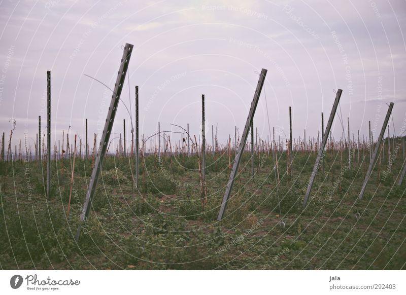 weinberg Umwelt Natur Landschaft Pflanze Himmel Gras Grünpflanze Nutzpflanze Feld Hügel natürlich trist Farbfoto Außenaufnahme Menschenleer Textfreiraum oben