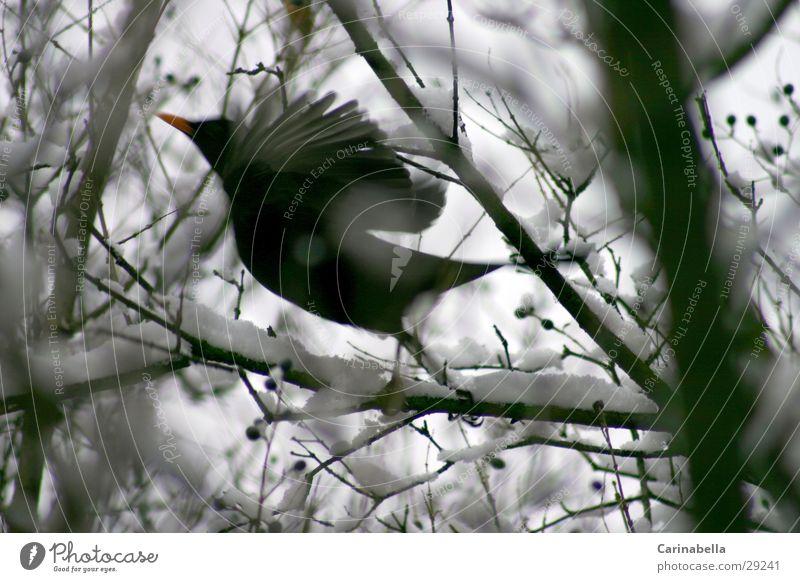 Vogel am Starten Amsel Beginn Wintervogel losfliegen