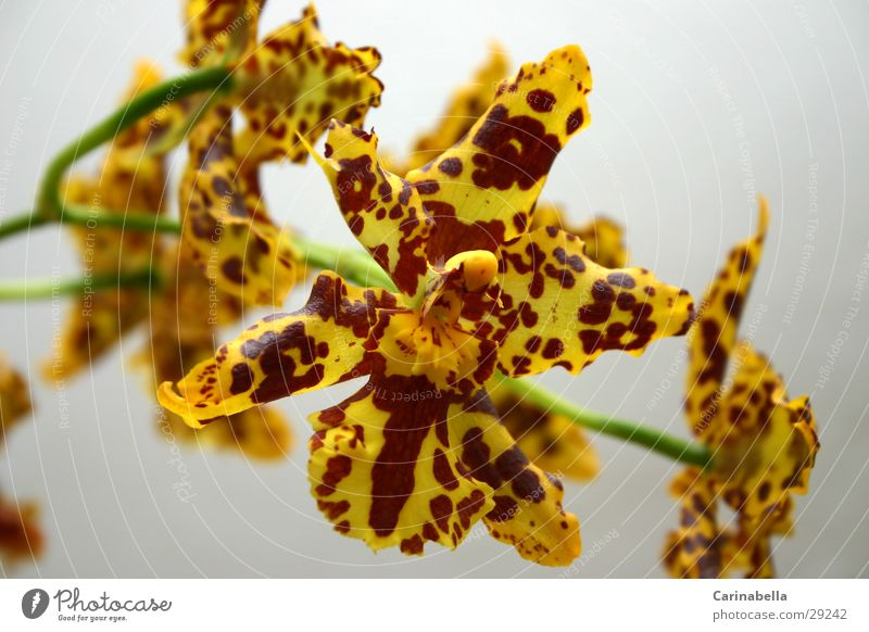 Orchidee Blume Pflanze Blüte