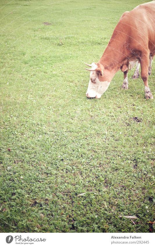 Heilig. Umwelt Natur Tier Wiese Nutztier Kuh 1 Essen Fressen grün Lebensmittel tierisch Weide Farbfoto Außenaufnahme Textfreiraum unten Tag Tierporträt