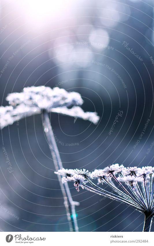 beauties of winter Natur blau schön weiß Pflanze Winter ruhig Wald Umwelt kalt Herbst träumen Eis Feld Kraft glänzend