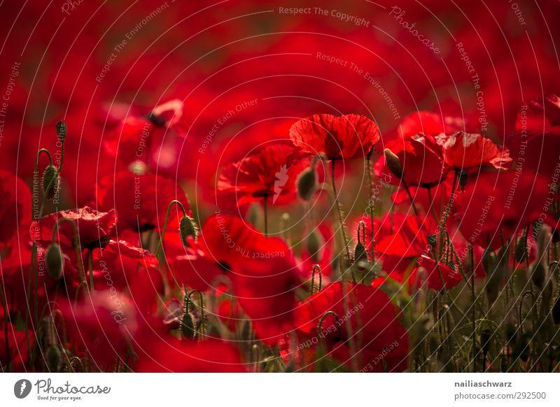Mohn Natur Landschaft Pflanze Sommer Schönes Wetter Blume Wildpflanze Garten Wiese Feld Blühend Duft verblüht fantastisch frisch natürlich positiv schön rot