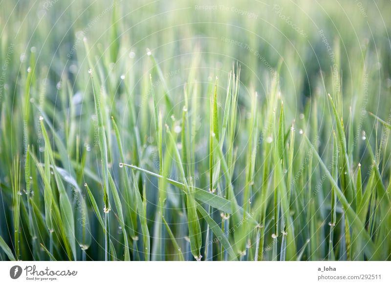 #green #grass Umwelt Natur Pflanze Wasser Wassertropfen Gras Nutzpflanze Wiese Feld Linie Tropfen nass natürlich unten grün rein Wachstum Getreide Farbfoto