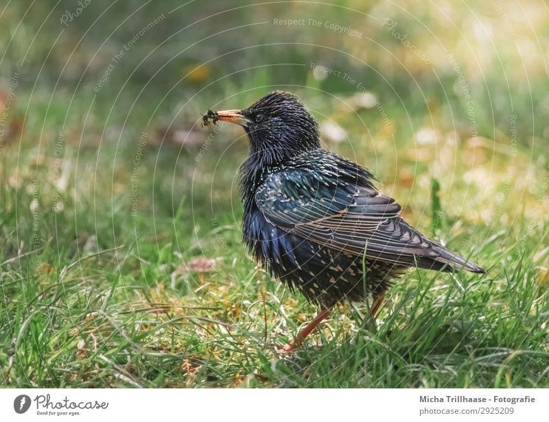 Star mit Fliegen im Schnabel Natur blau grün Sonne Tier schwarz gelb Auge natürlich Wiese Gras orange Vogel glänzend Wildtier stehen