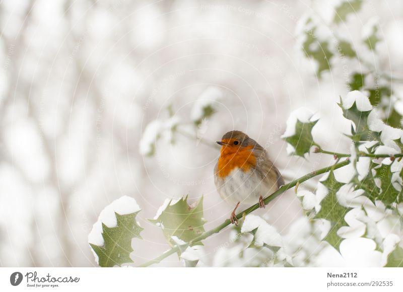 Rotkehlchen Natur weiß Pflanze rot Tier Blatt Winter Wald kalt Schnee Vogel Eis Wetter Wildtier Sträucher Frost