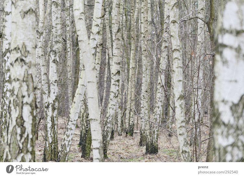 X Natur weiß Pflanze Landschaft Wald Umwelt grau Linie Birke Birkenwald