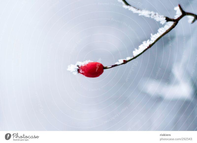 red Umwelt Winter Eis Frost Schnee Pflanze Hagebutten Wald rot Kraft ruhig Einsamkeit Idylle kalt Farbfoto Außenaufnahme Textfreiraum oben Textfreiraum unten