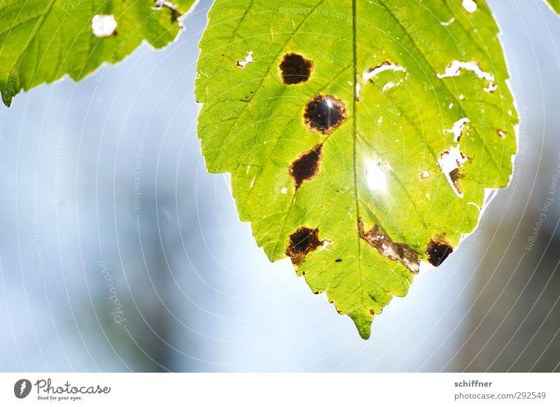 Blattgrüngold Natur alt Pflanze grün Blatt Umwelt Herbst gold Vergänglichkeit Schönes Wetter kaputt Fleck Riss Herbstlaub Loch herbstlich