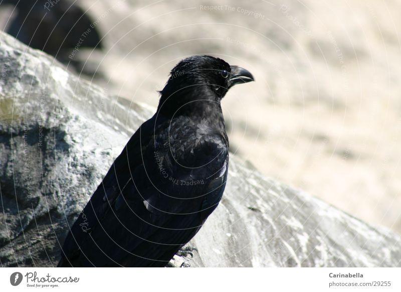 Rabe Rabenvögel schwarz Schnabel Vogel Stein
