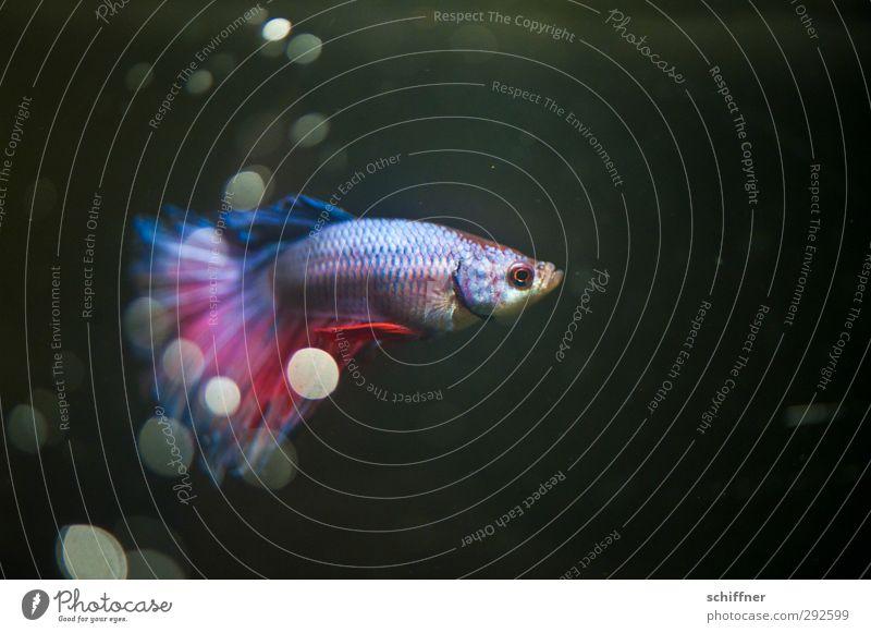 Karl Tier Haustier Fisch 1 Schwimmen & Baden blau rot Punkt Wassertropfen Unterwasseraufnahme Unterwasseraquarium Aquarium Flosse Schuppen schillernd kampffisch