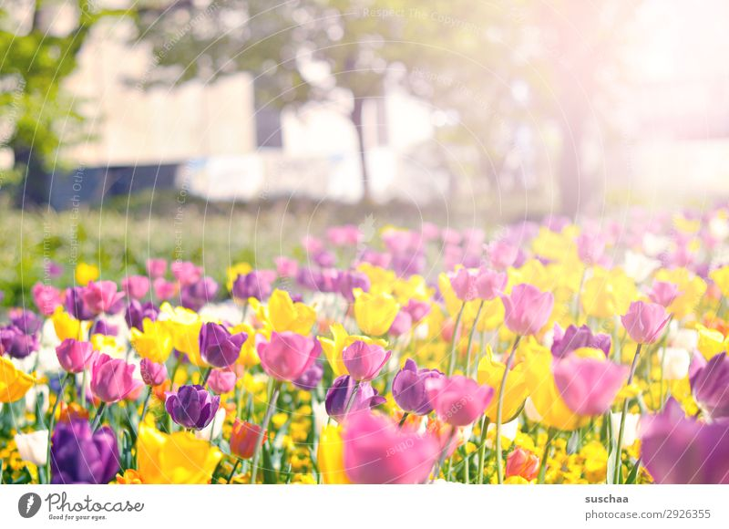 tulpen Blume Tulpe Blüte Stengel Wiese Außenaufnahme Frühling Wärme Jahreszeiten Sommer Sonnenschein Schönes Wetter Garten Park Umwelt Natur Landschaft