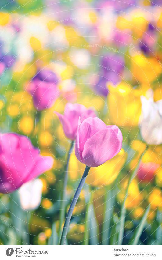tulpen Natur Sommer Pflanze Landschaft Blume Wärme Umwelt Blüte Frühling Wiese Garten Park Wetter Fröhlichkeit Lebensfreude Schönes Wetter