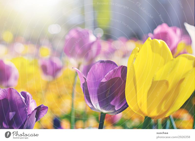 tulpen Blume Tulpe Blüte Wiese Außenaufnahme Frühling Sommer Sonnenschein Schönes Wetter Garten Park Umwelt Natur Landschaft Landschaftsgärtnerei Pflanze Klima
