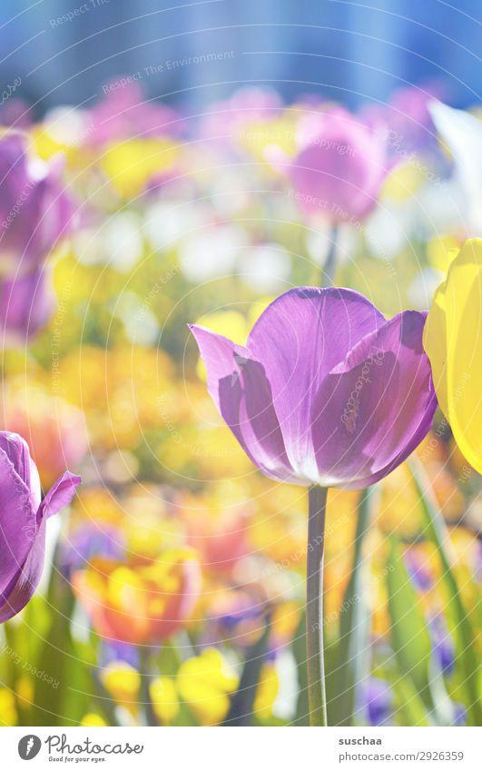 tulpen Blume Tulpe Blüte Wiese Außenaufnahme Frühling Wärme Jahreszeiten Sommer Sonnenschein Schönes Wetter Garten Park Umwelt Natur Landschaft