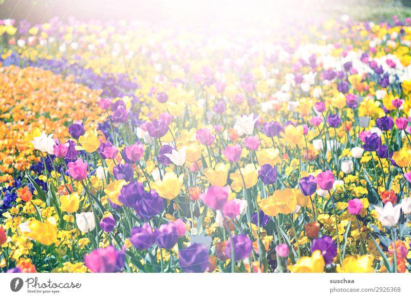 viele tulpen Blume Tulpe Blüte Stengel Wiese Außenaufnahme Frühling Wärme Jahreszeiten Sommer Sonnenschein Schönes Wetter Garten Park Umwelt Natur Landschaft