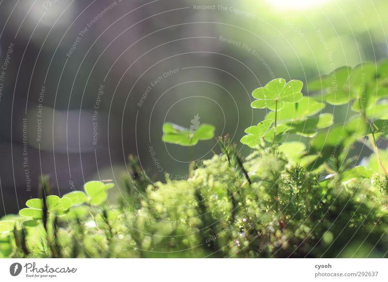 Glücksklee Umwelt Natur Pflanze Sonnenlicht Moos Blatt Wald leuchten dehydrieren Wachstum frisch klein nah nass trocken Wärme blau grau grün Detailaufnahme Klee