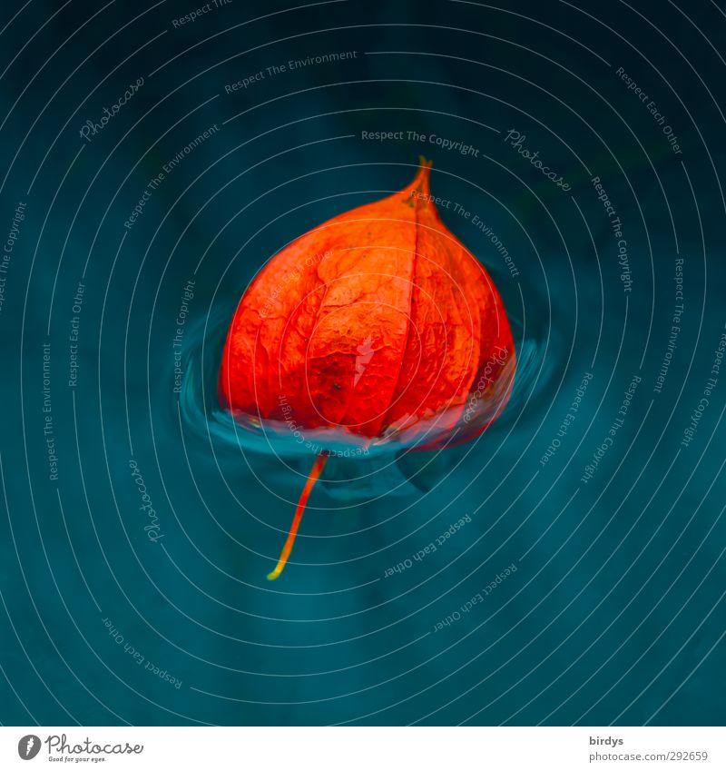 Lampionfrüchtchen Wasser Lampionblume leuchten Schwimmen & Baden ästhetisch Flüssigkeit frisch positiv schön blau orange ruhig Farbe rein Im Wasser treiben