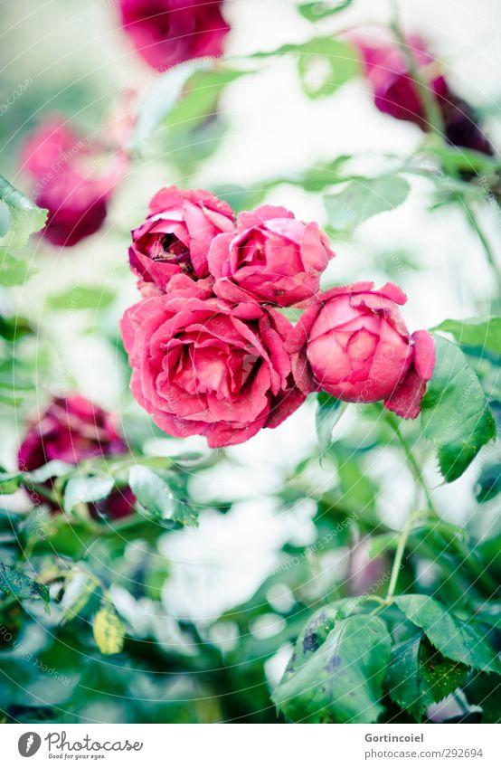 Rosen Natur grün schön Sommer Pflanze rot Blüte Blütenblatt Rosenblätter Rosenblüte Rosengarten