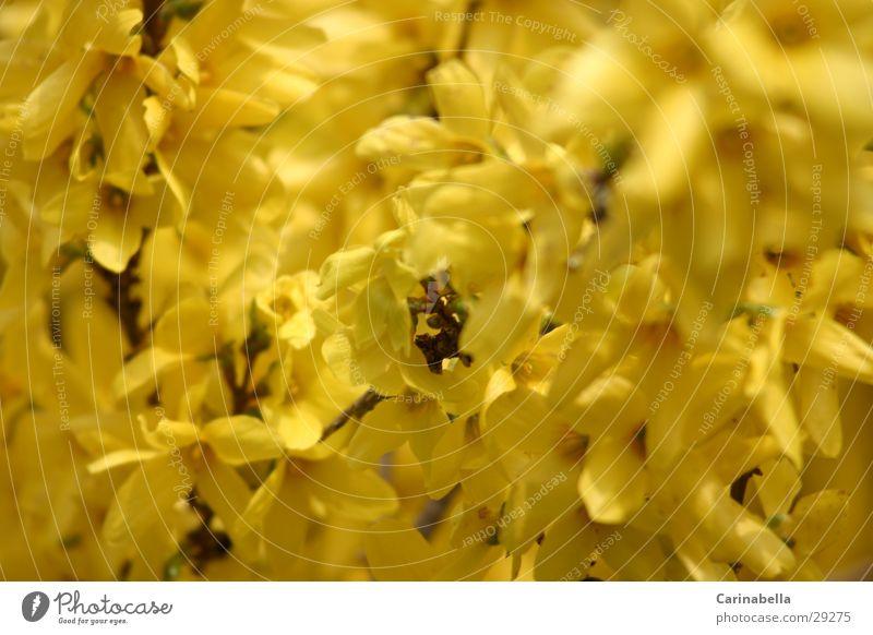 Nachbarsgarten gelb Blüte Sträucher