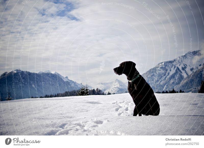 Spaziergang Spielen Ausflug Winter Schnee Berge u. Gebirge wandern Natur Landschaft Himmel Wolken Hügel Gipfel Schneebedeckte Gipfel Tier Haustier Hund frieren